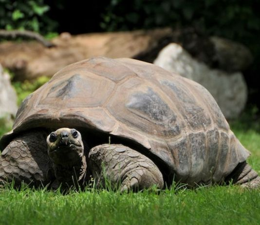 Tartaruga gigante delle Seychelles al Parco Natura Viva