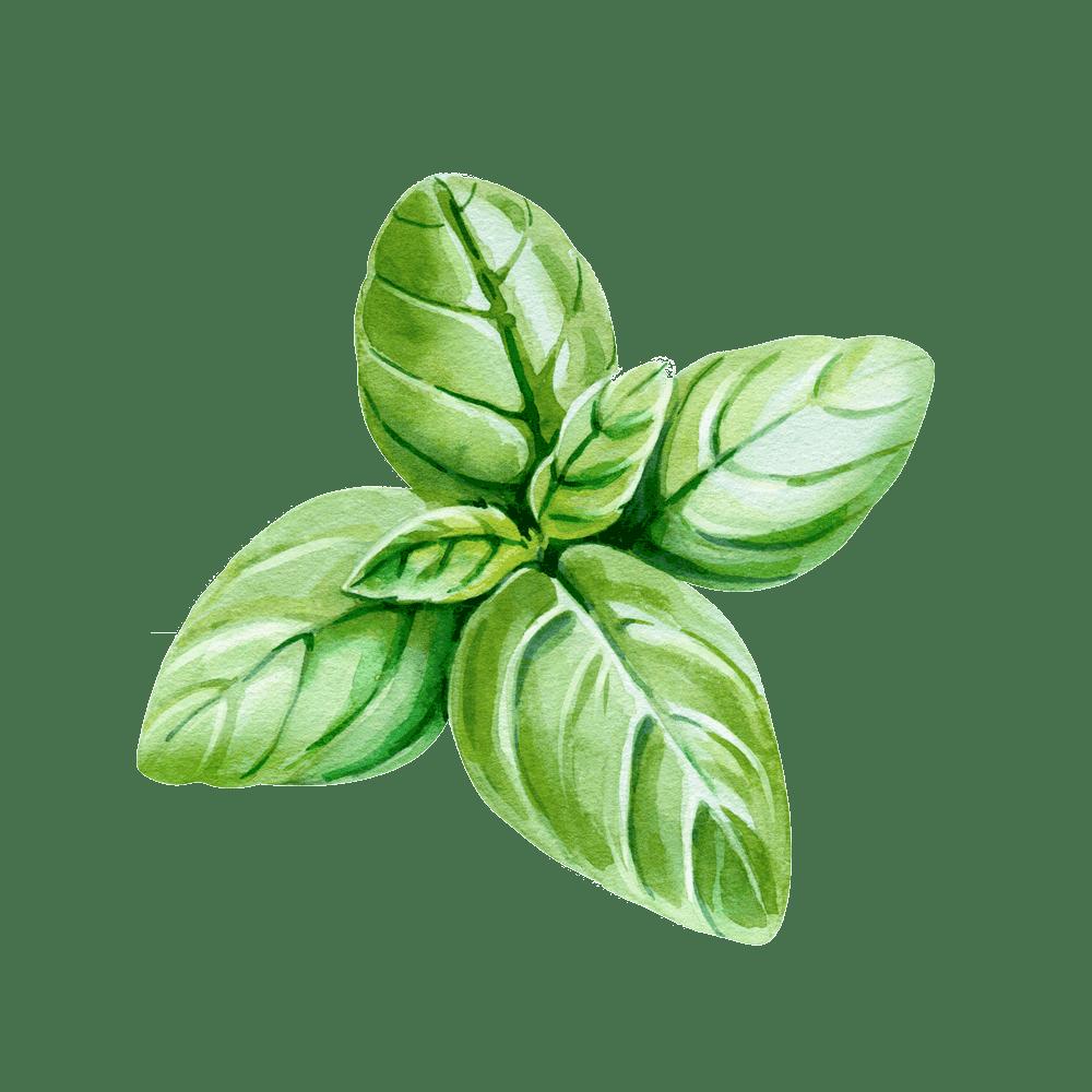 illustrazione di foglie di basilico - erbe aromatiche da coltivare in casa - i consigli tognana
