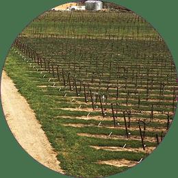 vineyard detail