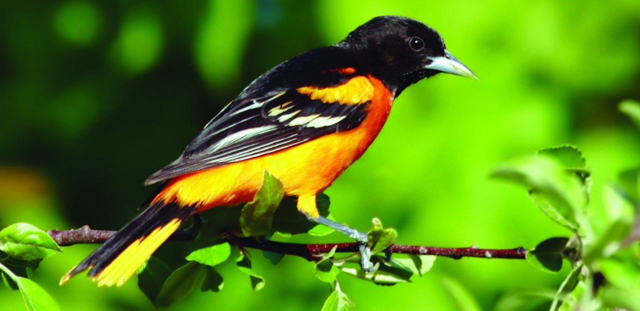 Oriole bird sits on branch