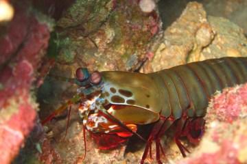 Peacock Mantis Shrimp under water