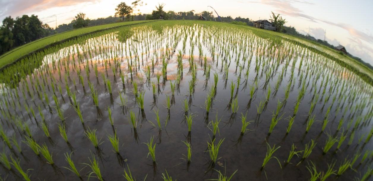 Crop growing in water