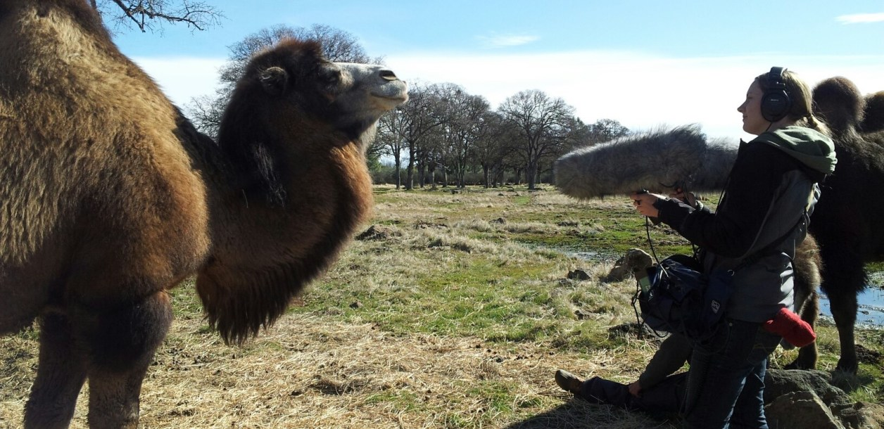 Sound artist records noises from a camel.