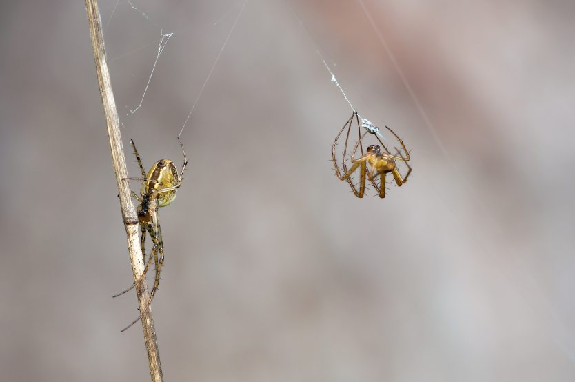 https://www.pexels.com/photo/female-males-autumn-spiders-metellina-segmentata-60694/