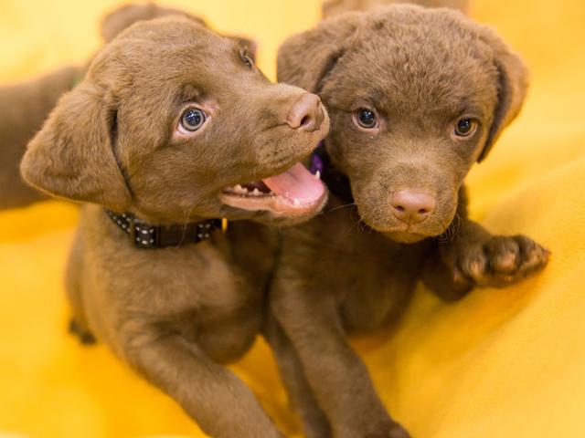Two Chesapeake bay retriever puppies