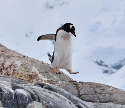 A gentoo penguin pads down a rock at Port Lockroy in the Gerlache Strait. Photo: Christina Devorshak '91
