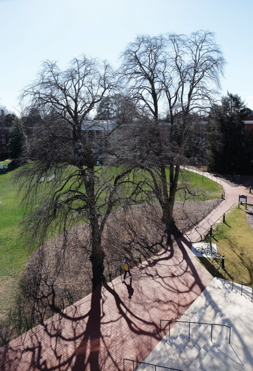 Two silver lindens near the University Center cast long shadows, literally and figuratively. The trees date to 1908, when Mary Washington was founded. (Photo by Norm Shafer)