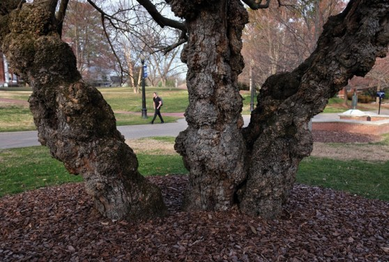 The gnarly trunks of a mulberry frame Campus Walk.