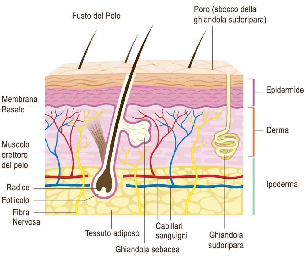 derma struttura