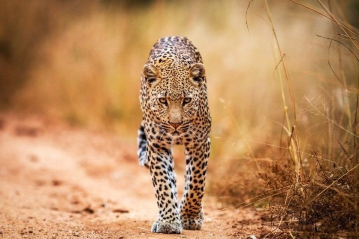 Leopardo nel parco nazionale Kruger, Sudafrica.