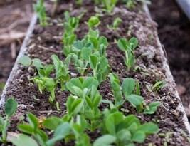 Emulsie de Peste – Fertilizator pentru Grădină