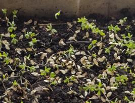 Semințele noastre nu germinează! UUF! Cele mai frecvente probleme de pornire a semințelor