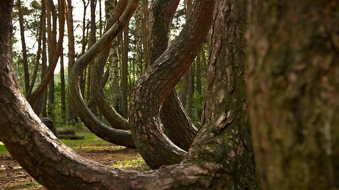 Oryginalne podróże - krzywy las