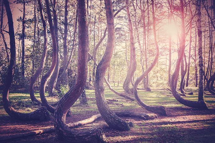 Najciekawsze lasy w Polsce - Krzywy las k.Gryfina