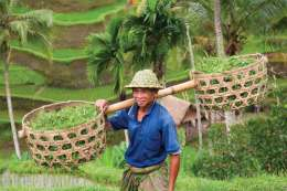 Rice farmer Wajan Kantun on his rice fields in Tegallalang, Bali , Indonesia