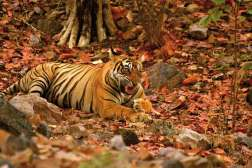 Ranthambhore to jeden z największych parków narodowych Rajastanu (leży 130 km od Jaipuru), a zarazem – od 1974 r. tygrysie sanktuarium. Tygrysy bengalskie można podziwiać tylko w Indiach, a spotkanie z nimi pociąga za sobą zawsze emocje silniejsze niż afrykańskie safari, bo tygrysy zachowują się bardziej agresywnie od wszystkich kocich pobratymców i są nadzwyczaj niezależne. Oczywiście w parku spotyka się także inne zwierzęta. Z najgroźniejszych: krokodyle, niedźwiedzie wargacze, lamparty i pytony. Safari nie odbywają się w porze monsunów, to jest od połowy czerwca do końca września.