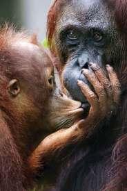 """Na początku minionej dekady periodyk """"Science"""" spopularyzował odkrycie: orangutany posługują się prostymi narzędziami przy zdobywaniu pożywienia. Podpatrywanie ludzi poszerza... zakres ich doświadczeń."""