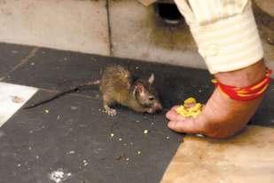 Gryzonie niczym zwierzęta domowe jedzą z ręki