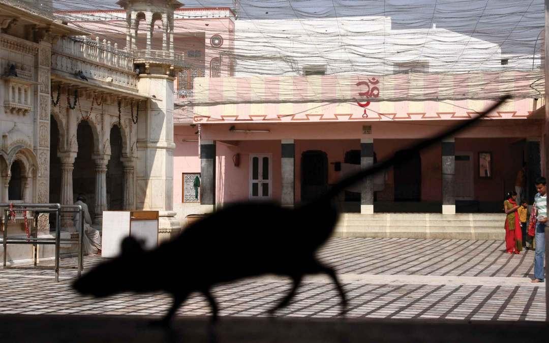 Indie – szczurzy raj w Radżastanie