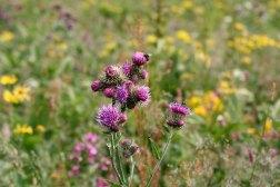 Kvetnica, czyli naturalny ogród na dolnym piętrze Doliny Wielickiej. Wycieczka na Gerlach, 1 sierpnia 2015, fot. Paweł Wroński
