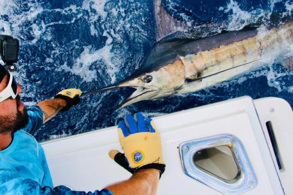 Marlin on Mahi Morsel Lure