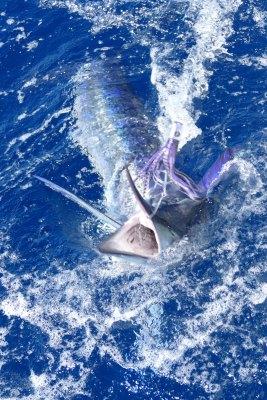 Beautiful Marlin Lure