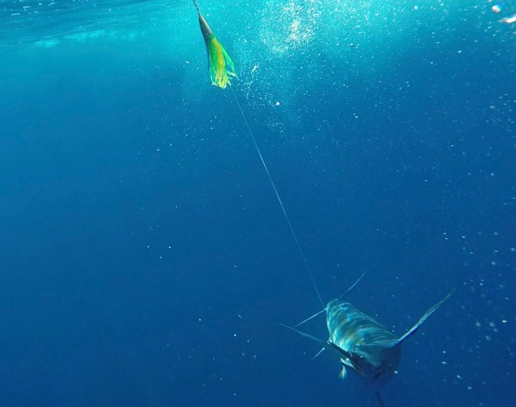 Underwater Marlin on Phoenix Lure