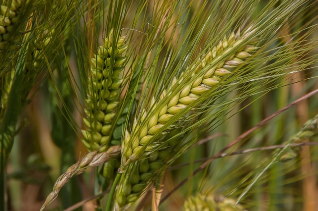 Glutenhaltige Getreide fördern Entzündungen und Übergewicht.