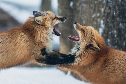 2 foxes fighting; difficult people;