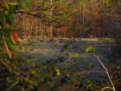 Deer frequent the field before sunset