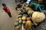 Pumpkins and winter squashes sold in the fresh market come from several villages in Getasan District, and also from neighboring villages in Ngablak District of Magelang Regency. They are generally available year-round. Some varieties normally can weigh up to 4 and 5 kilograms each.
