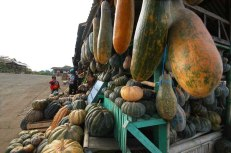 Pumpkins and winter squashes are ready for harvest once the stem becomes fissured or cracked. They can be picked up three times while the plants are still green. But they are often left until all the fruit are fully developed and the vines have ceased to grow and died off.