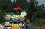 CABBAGE VEGETABLE MERBABU PAKIS MAGELANG IMAGES