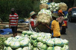 Cabbage farmers in Ngablak Subdistrict of Magelang Regency. Image by Sahrudin