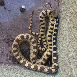 Gopher Snake as Heart