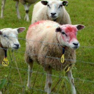Foto van gekleurde schapen
