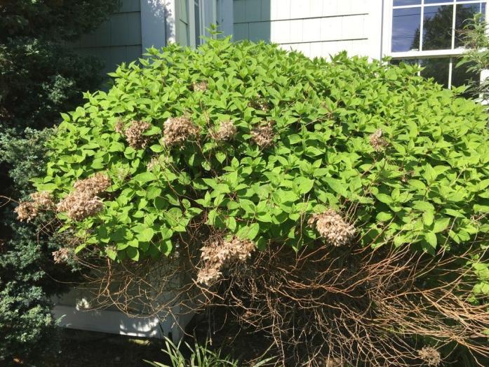 Hydrangea before pruning