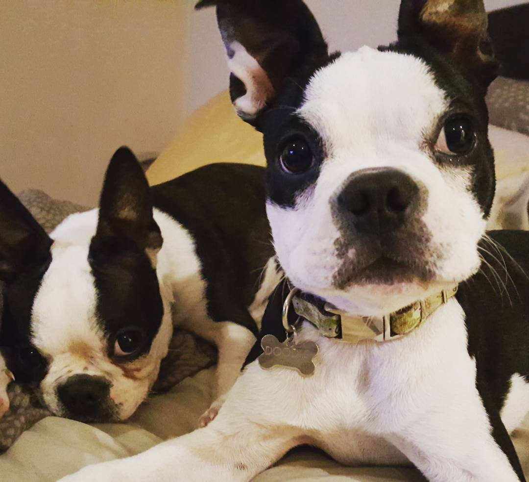 smidge-and-doodle-two-cute-boston-terrier-littermates