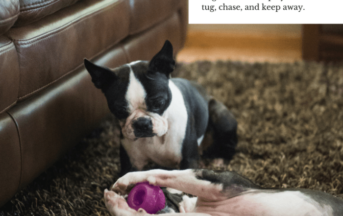 two boston terriers playing with outward hound toys