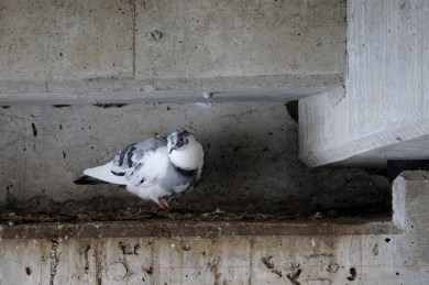 White Pigeon on Filthy Ledge