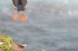 Puffin feet as it Takes off