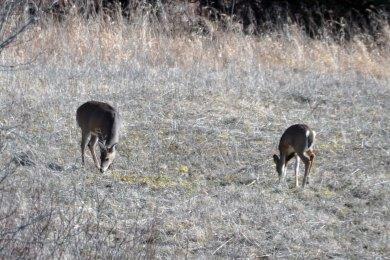 White Tailed Deer eating