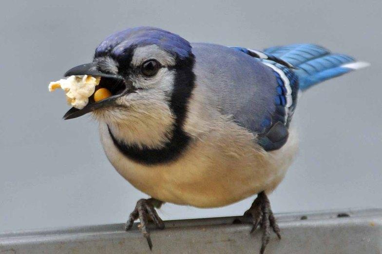 Blue-Jay-steals-Popcorn