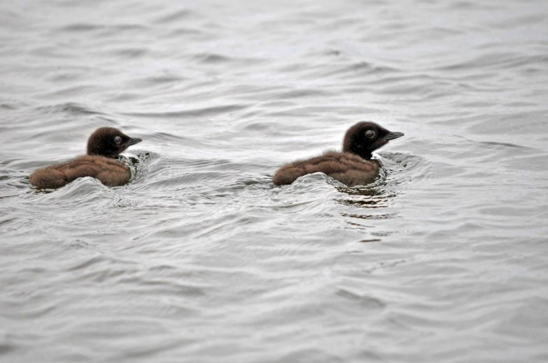 Two fuzzy Common Loon Chicks