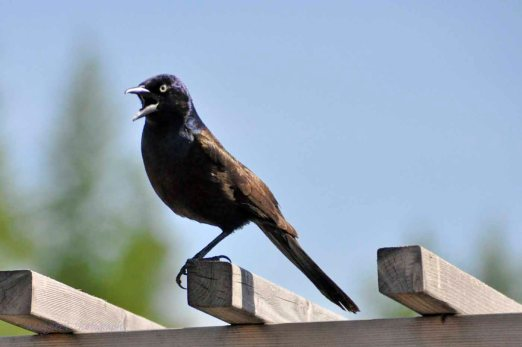 Common-Grackle-survives-with-one-leg