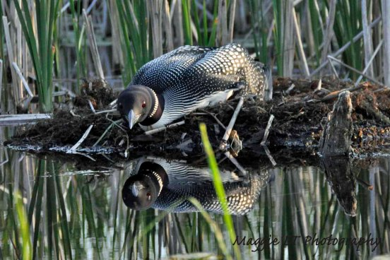 Common Loon watches from nest