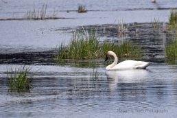 Trumpeter Swans14