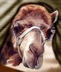 camel's nose
