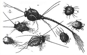 sketch of possibly-imaginary parasites by Dr. Michel Ettmuller (1682)