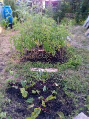 beetroots foreground, tomatoes behind